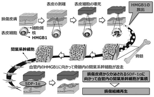 stemrim-hmgb1